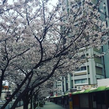 20170406桜.JPG