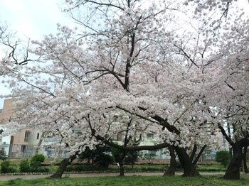 sakura20150403-4.JPG